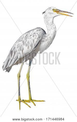 Grey heron isolated on white background. Clipping paths included.