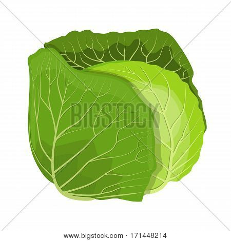Fresh green cabbage vegetable isolated. cabbage for farm market, vegetarian salad recipe design. Vector illustration in flat style
