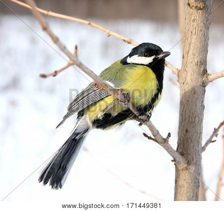 The titmouse sits on a thin branch in the winter
