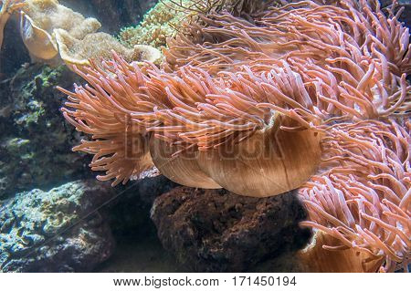 Beautiful pink sea anemone with many tentacles to catch plankton fish crabs or snails. Underwater view.