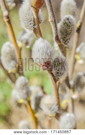 Beautiful fluffy sprig of  blossomed willow. Fresh willow flowers branch