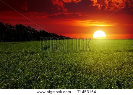 Bright red scenic sunrise over a field of peas.