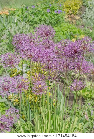 Field of Allium or ornamental onion plant