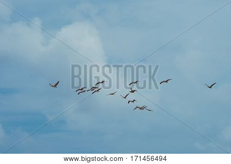 Wedge of pelicans in taxas against the blue sky