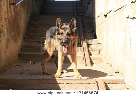 Dog German Shepherd Is On The Steps In A Summer Day