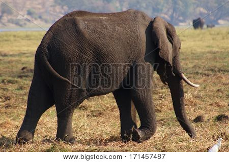 a big elephant from tha back an side in National park Chobe in Botswana