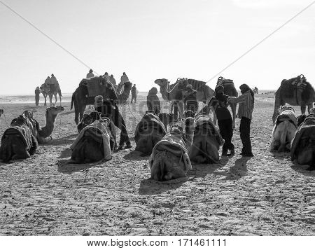 Caravan of camels to rest at sunset. Black and white.