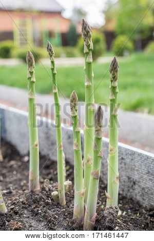 Green young asparagus sprouts in the garden.