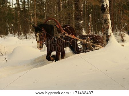 Russia North-West.The Mare, carrying a load of wood in the taiga trail.