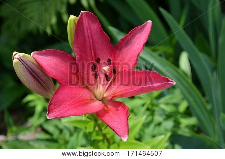 Deep Pink Lily in bloom with green plants background