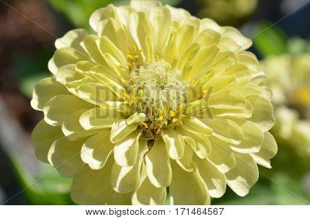 Closeup of blooming pale yellow zinnia flower