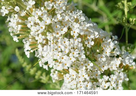 Closeup of tiny flowers on a white butterfly bush