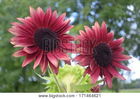 Pair of unique red burgundy sunflowers with green background