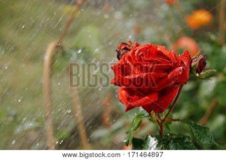 rose under summer rain growing in a garden, shallow dof