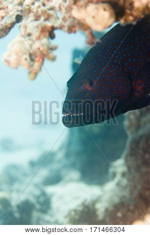 Portrait Of A Coral Grouper. Selective Focus, Shallow Depth Of Field