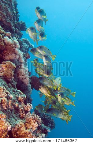 Yellow Sweetlips Shoal On The Coral Wall