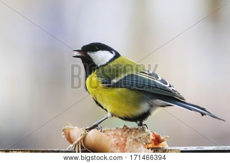 A photo of a titmouse on a piece of hog-skin