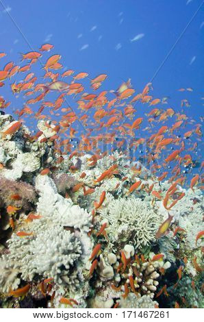 Large School Of Gold Fish Swimming Over Corals. Wide Angle, Selectove Focus