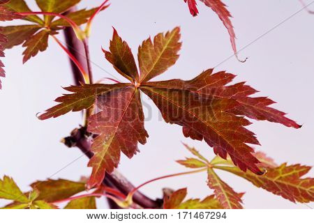 Acer Palmatum Leaf