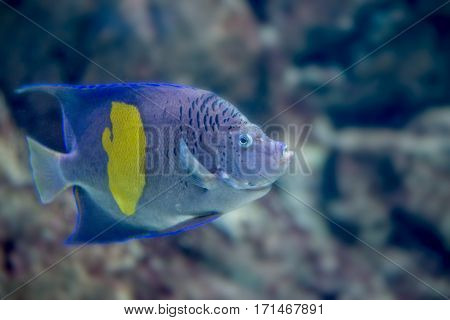 Yellowband angelfish or Pomacanthus maculosus also known as the halfmoon angelfish. Wildlife animal