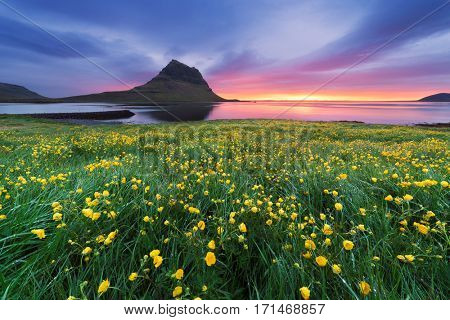Landscape with a beautiful sunrise and the mountain. Yellow flowers in the lush grass in a meadow. Tourist Attraction Iceland. Kirkjufell mountain near the Grundarfjordur town. Beauty in nature
