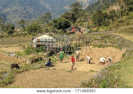 KATHMANDU NEPAL - DEC 1 2013: people helping threshing the corn for the harvest near Kathmandu Nepal.