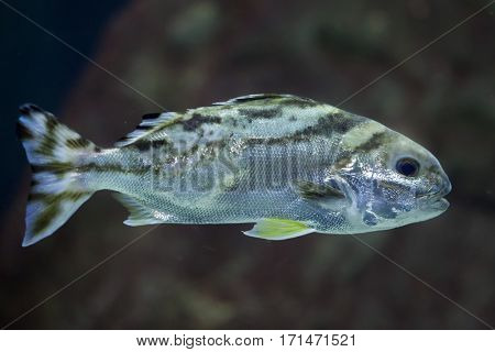 Target fish (Terapon jarbua), also known as the crescent bass.