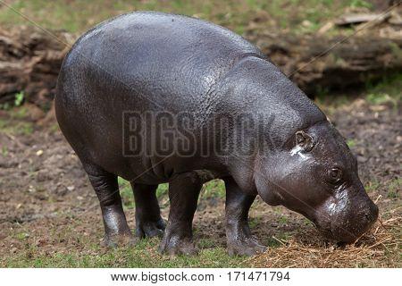 Pygmy hippopotamus (Choeropsis liberiensis). Wildlife animal.