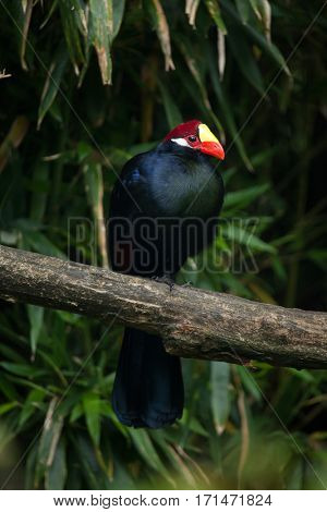 Violet turaco (Musophaga violacea), also known as the violaceous plantain eater.