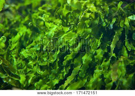 Green seaweed (Ulva compressa). Marine fish.