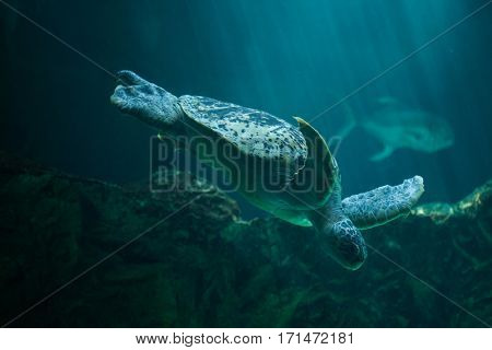Green sea turtle (Chelonia mydas), also known as the green turtle.