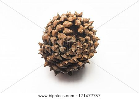 cedar pine cone isolated on white background object