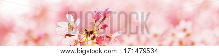 Spring Cherry blossoms in full bloom with cute new flower buds. Focus on flower bud. Shallow depth of field. Wide header dimension.