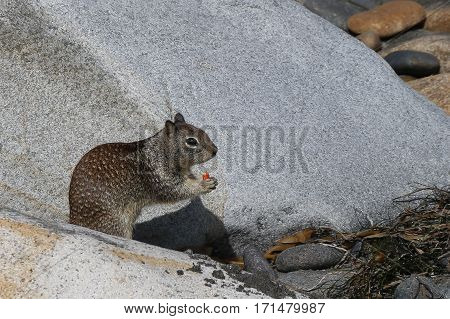 California ground squirrel sitting and eating a seed on rocky beach, copy space