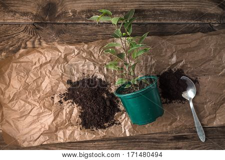 Ficus in the flower pot on the wooden background top view