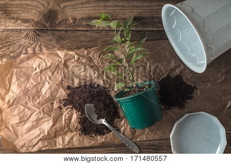 Set for transplant ficus flower top view