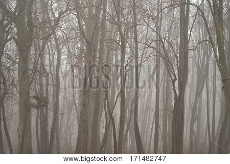 Gloomy Fog In A Bare Forest