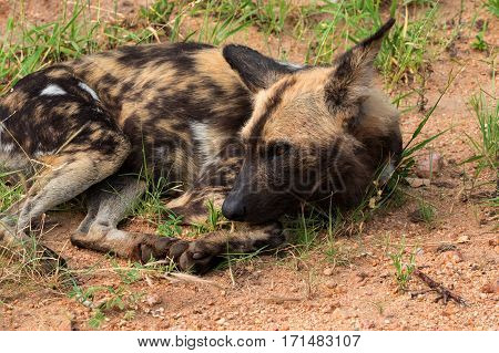 African wild dog or african painted dog Kruger National Park South Africa