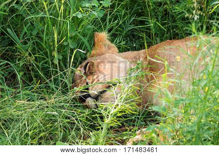 female lion lioness sleeping relaxed in the grass, South Africa, Kruger National Park