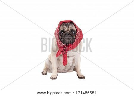 adorable cute pug dog puppy sitting down with western scarf around head looking like a babushka isolated on white background