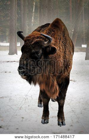 portrait of European bison in winter bialowieza