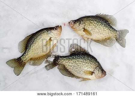 Crappies lay on the ice after being caught fishing