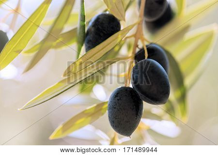 close up of a group of black ripe olives hanging from a tree in southern Spain in Andalusia with the sun shining in the back ground blurred for copy space