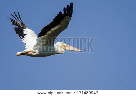 American White Pelican Flying in a Blue Sky