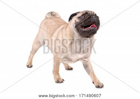 Portrait Of Sitting Mops Dog On A White Background