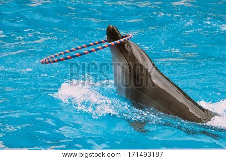 young dolphin plays with a hoop in the blue sea water