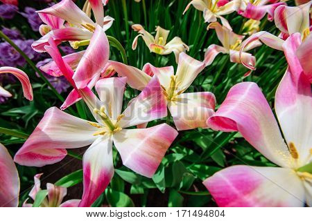 Beautiful bouquet of tulips. colorful tulips. tulips in spring, colorful tulip. Tulipa Florosa. Keukenhof Flower Park