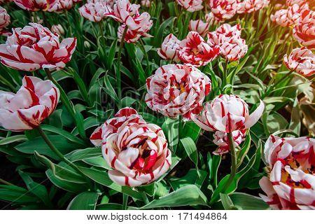 Tulip field, red and yellow, Keukenhof flower garden, Netherlands Holland