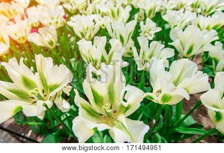 Beautiful white tulips. Tulipa Spring Green. Keukenhof Flower Park