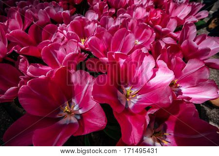 Tulipa Domino. Keukenhof Flower Park. Netherlands Holland